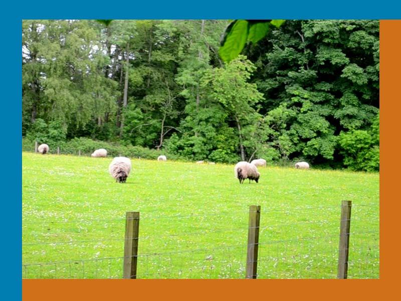 sheep_800x600